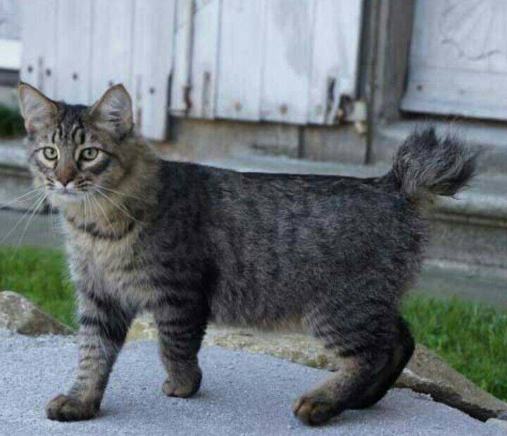 Пиксибоб — описание породы кошек от а до я: цена котят, фото окраса, содержание, описание породы, характер, отзывы