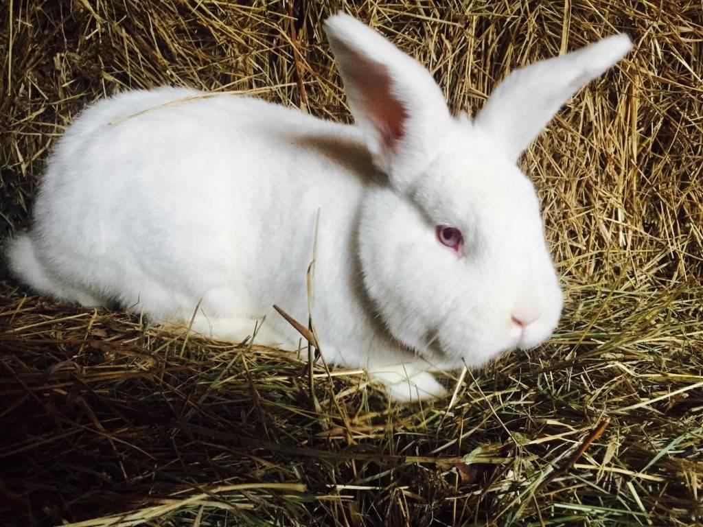 Белые и красные новозеландские кролики: описание породы и фото