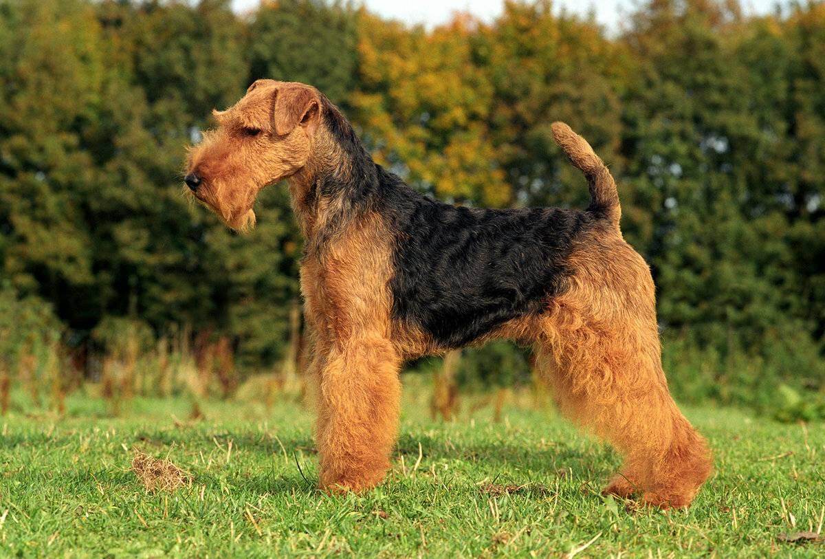Новые породы собак с фотографиями, названиями и описанием