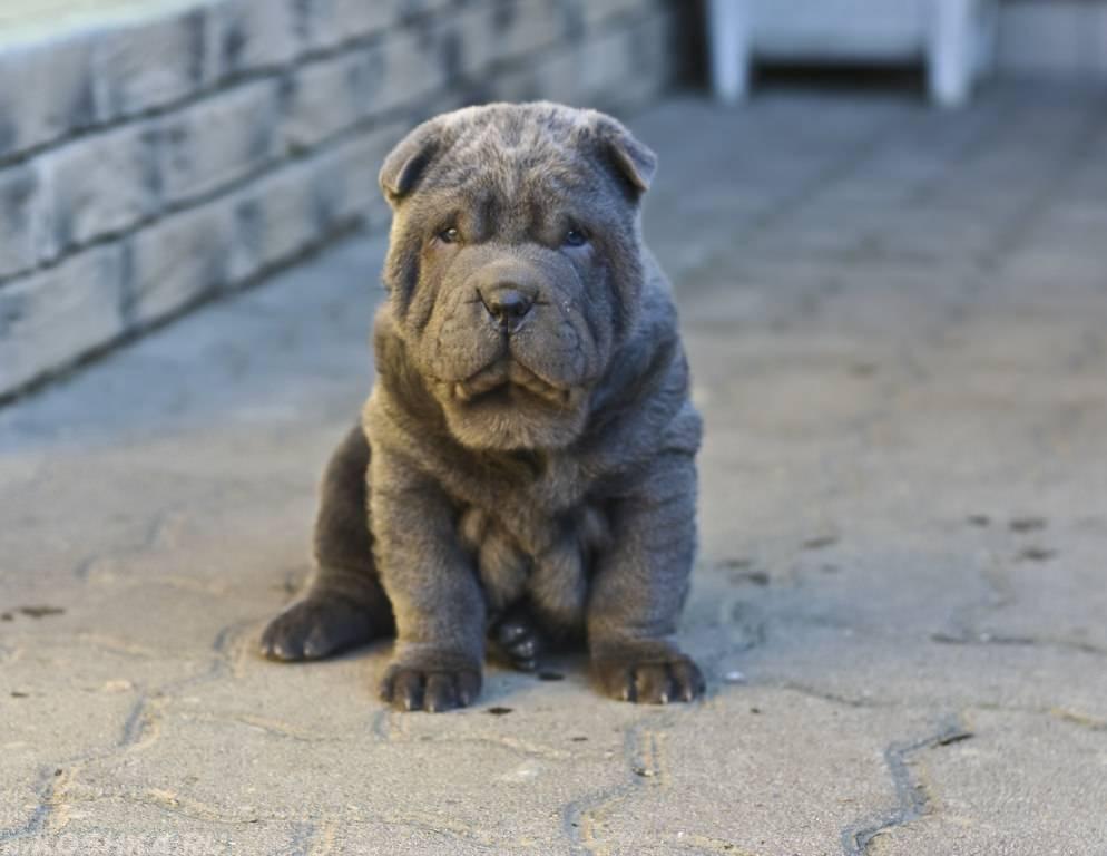 Шарпей собака. описание, особенности, уход и цена шарпея   sobakagav.ru