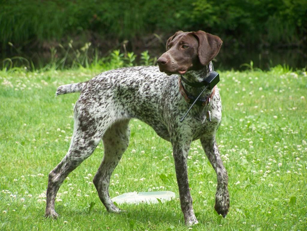 Немецкий курцхаар: описание породы, характер, щенки с фото.