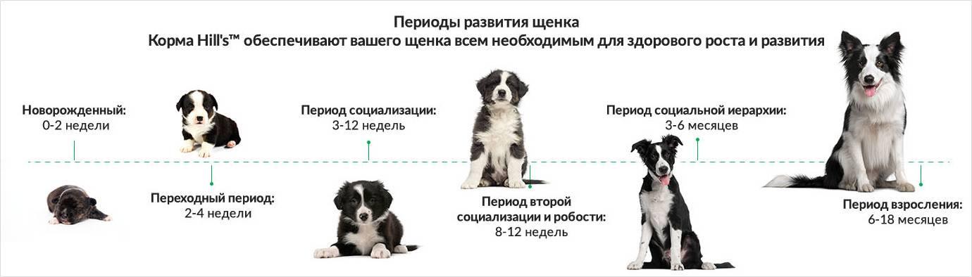 Щенки немецкой овчарки в 2 месяца (33 фото): чем их кормить? правила кормления. сколько чистокровный щенок должен весить и как он выглядит?