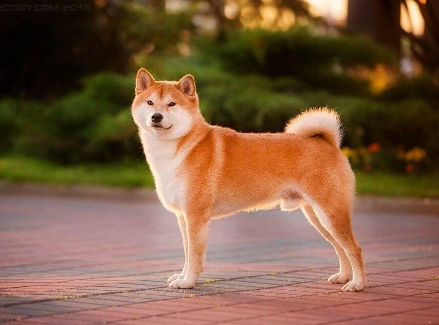 Порода собак тоса-ину - описание, характер, характеристика, фото японского мастифа и видео, цена