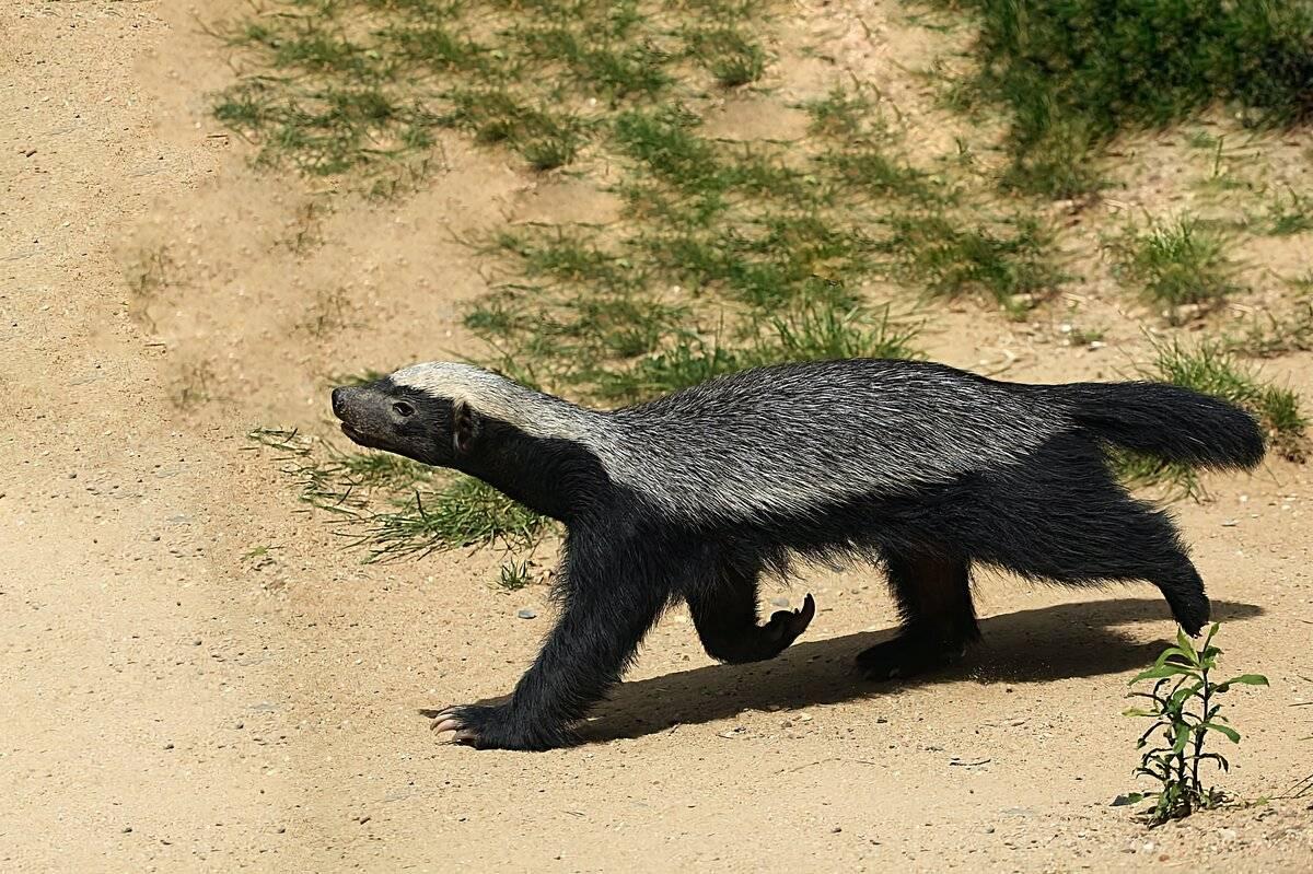 Росомаха - фото, описание и образ жизни коварного зверя