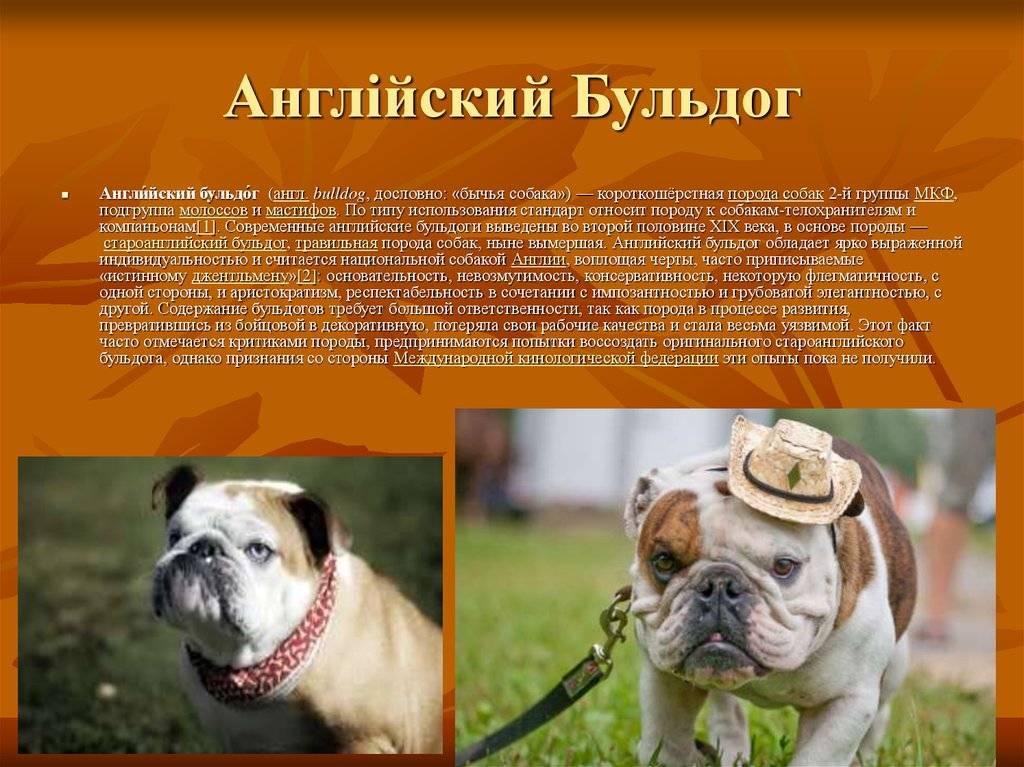 "Порода собаки из фильма ""бетховен"" - сенбернар. описание собаки бетховен. - petstime.ru"