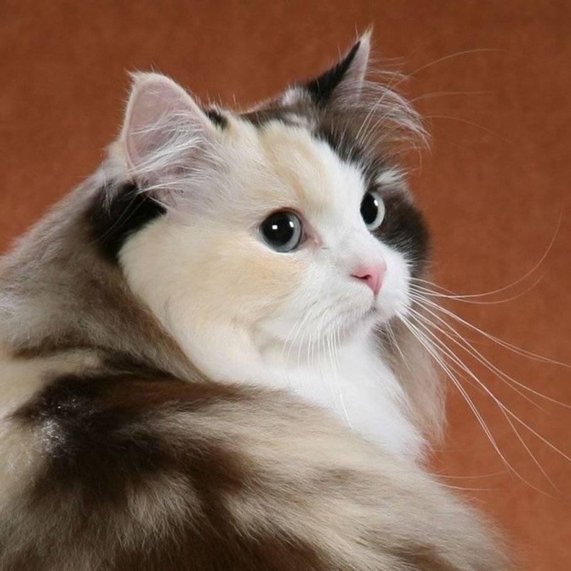Рагамаффин – описание породы и характера кошки