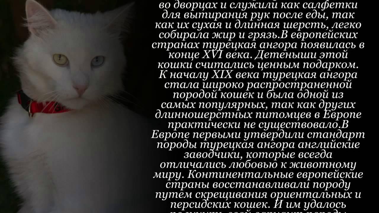 Кошка породы турецкая ангора: история, внешние особенности, характер, советы по уходу и содержанию, фото ангорок