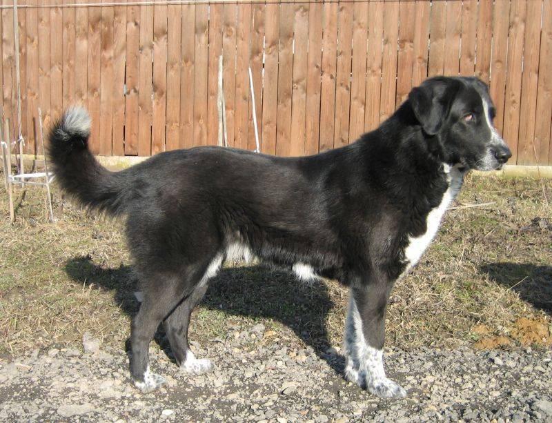 Южнорусская овчарка: все о собаке, фото, описание породы, характер, цена