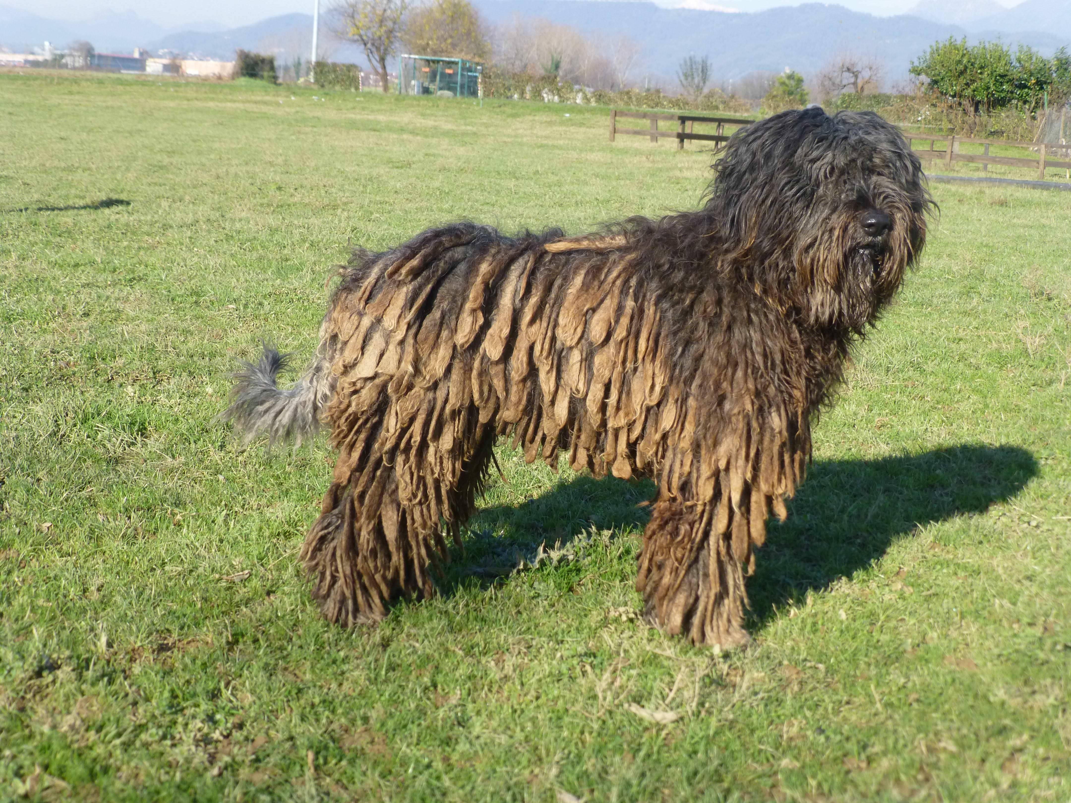 Венгерская овчарка (комондор): происхождение породы, описание с фото, основные характеристики