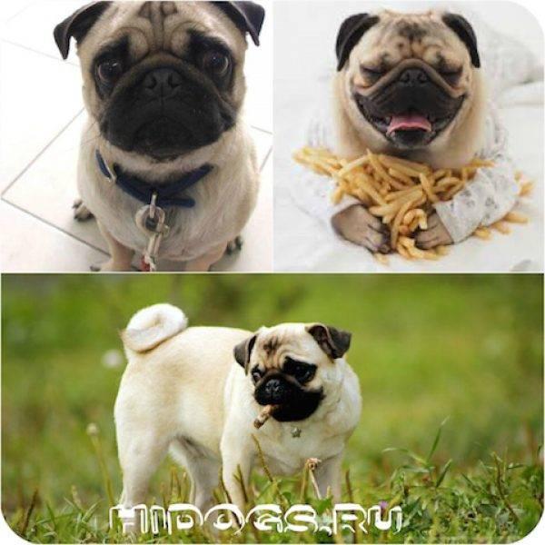 Особенности кормления мопса: чем его кормить и как подобрать корм + как помочь похудеть любимцу при ожирении