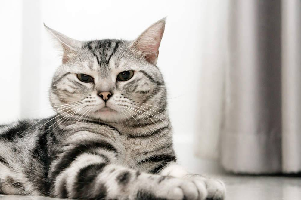 Американская короткошерстная кошка – национальная гордость сша