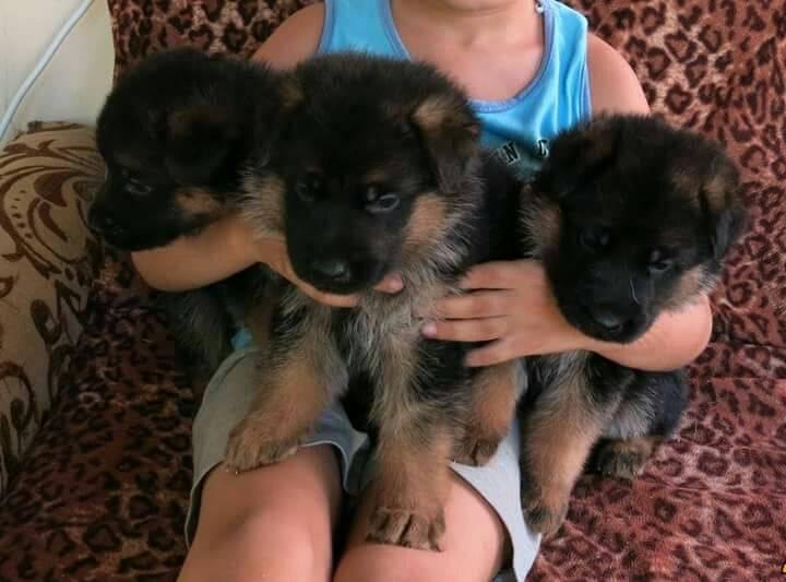 Чем кормить щенка немецкой овчарки – правильный рацион, рекомендации