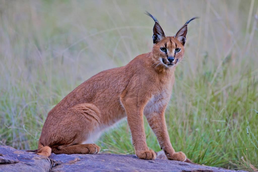 Каракал кошка: фото, описание породы, характер, цены
