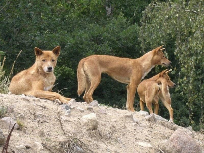 Динго – дикие собаки австралии с описанием и фото животных