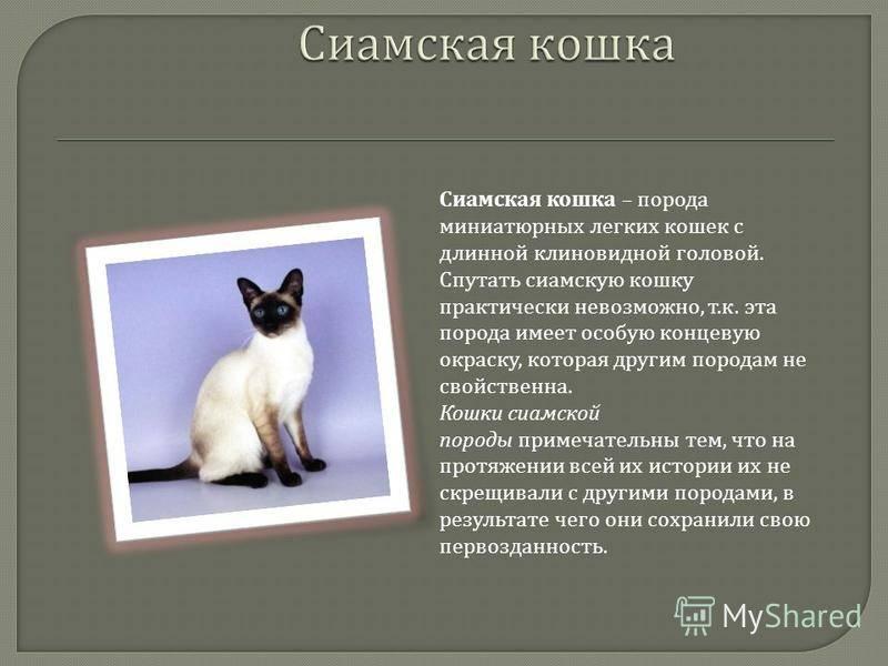 Гималайская кошка (100 фото): характер, уход за шерстью, происхождение породы, особенности, отзывы и  рекомендации по содержанию