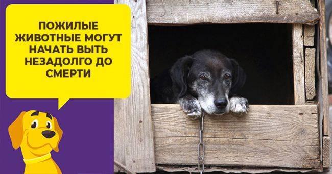 Почему воет собака: распространённые причины и способы корректировки поведения питомца