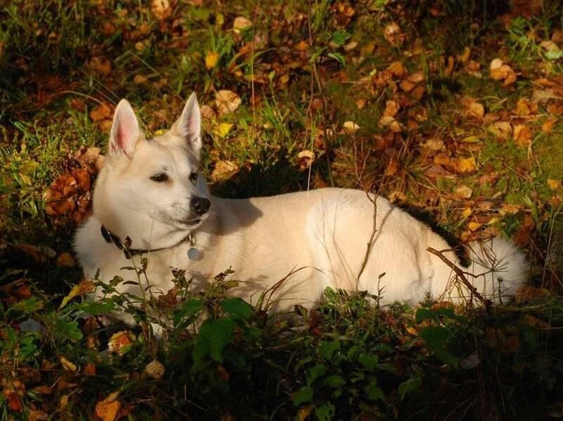 Норвежский элкхаунд — собака викингов