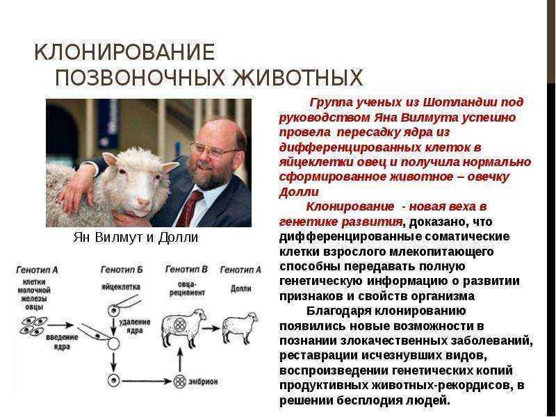От овечки долли к клонированию человека. правда или вымысел — staff-online