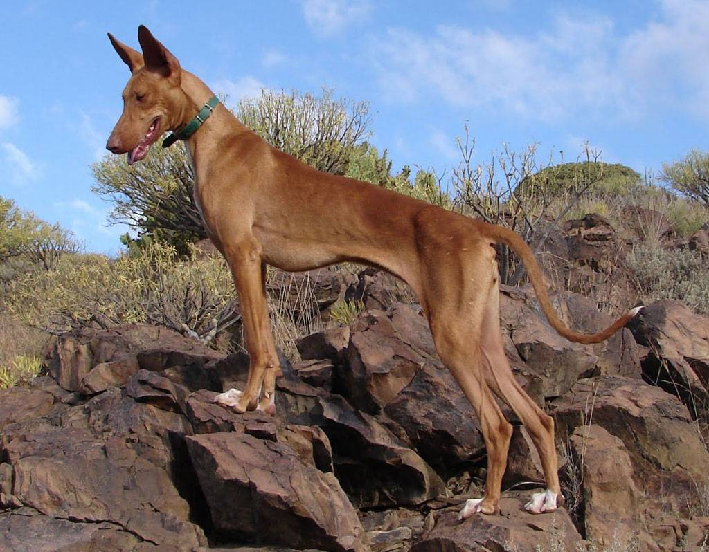 Канарский дог: особенности большой собаки