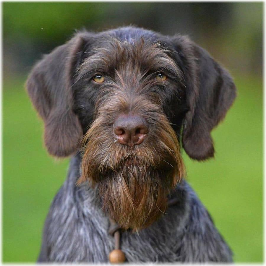 Собака породы дратхаар: описание, фото, характер, болезни, содержание и уход за немецкой жесткошерстной легавой
