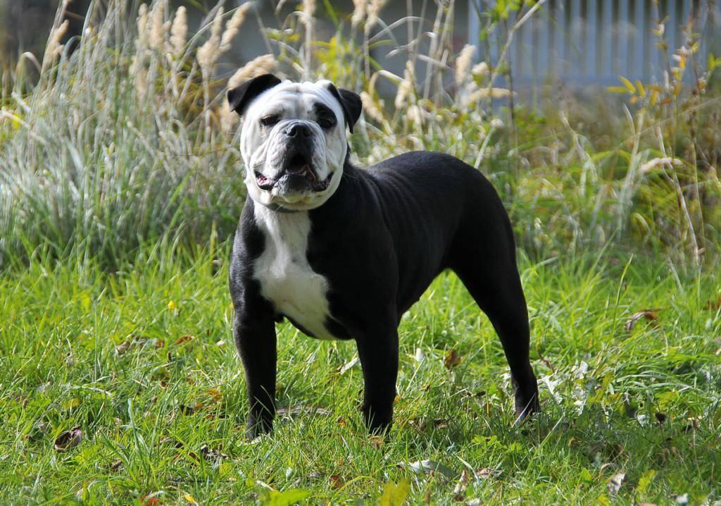 Французский бульдог собака. описание, особенности, уход, содержание и цена породы | живность.ру