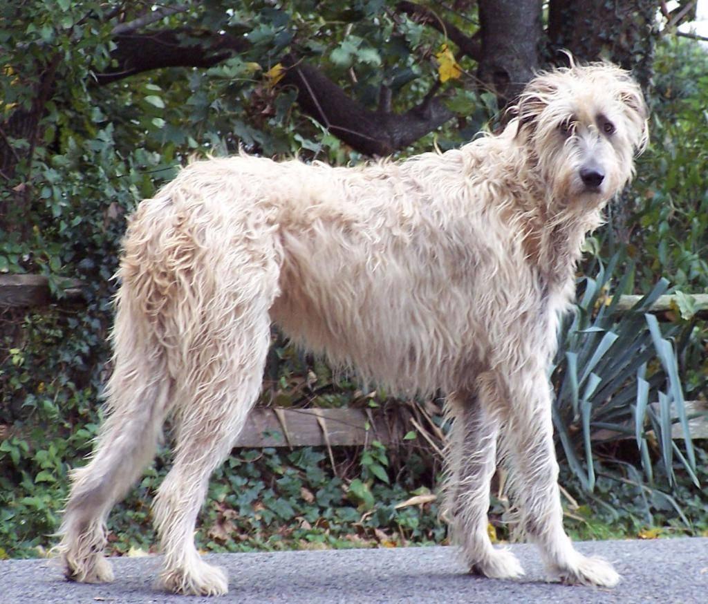 Каких собак называют волкодавами?