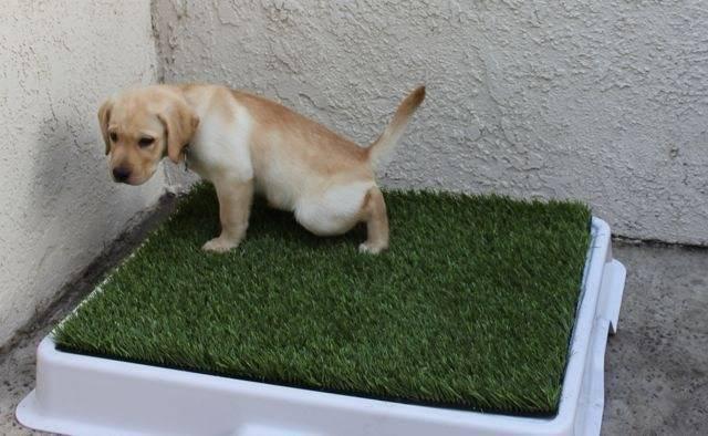 Лотки для собак: какие бывают, как выбрать и ухаживать?