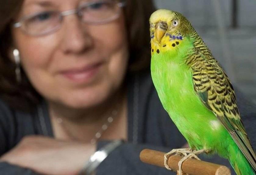 Как приручить и научить говорить волнистого попугая?