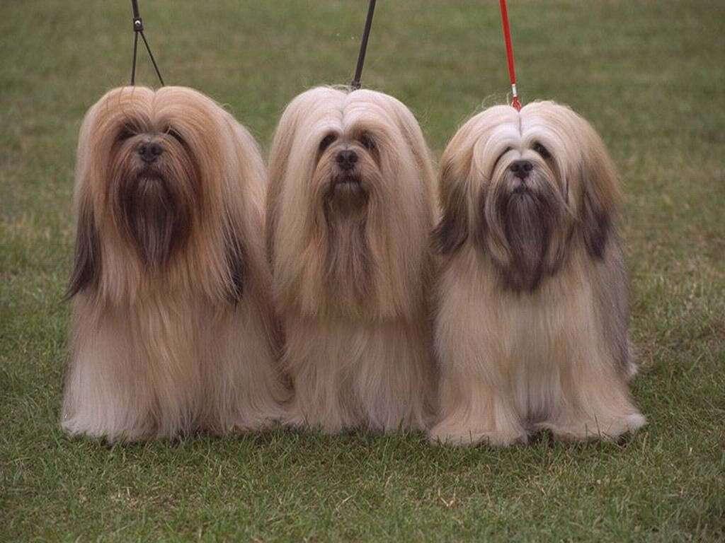 Порода лхаса апсо: описание, характер, уход, фото | все о собаках