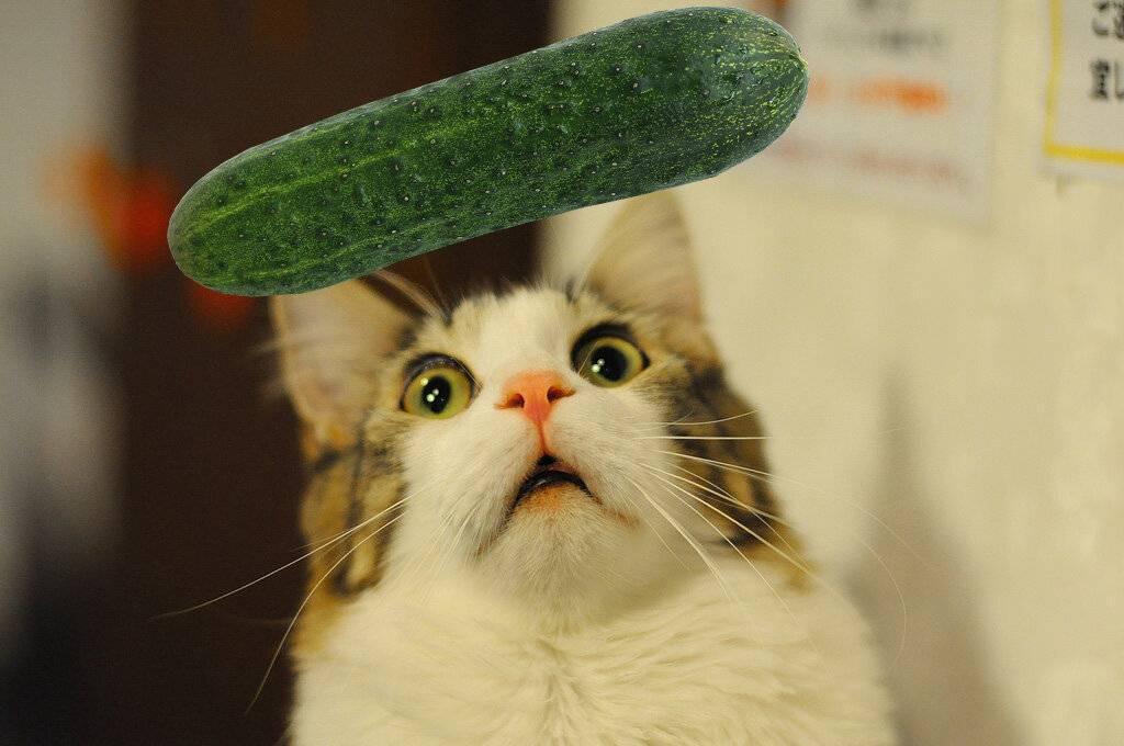 Почему коты боятся огурцов: причины и аргументы