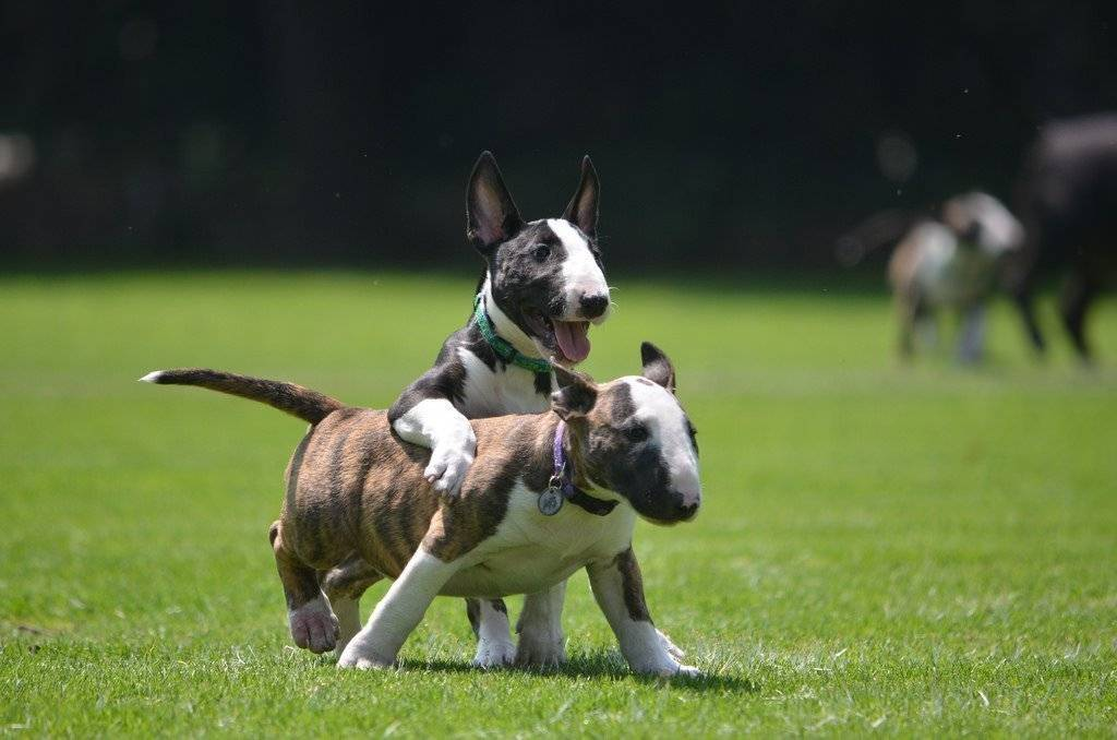 Фото бультерьер: как выглядит взрослый злой питомец и щенок данной породы, а также чем может быть опасна собака
