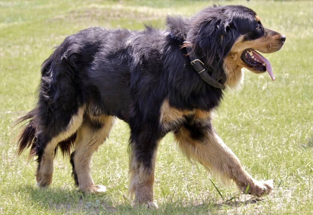 Бурят-монгольский волкодав: описание породы