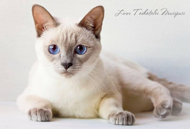 Тайская порода кошек: описание, характер, достоинства и недостатки