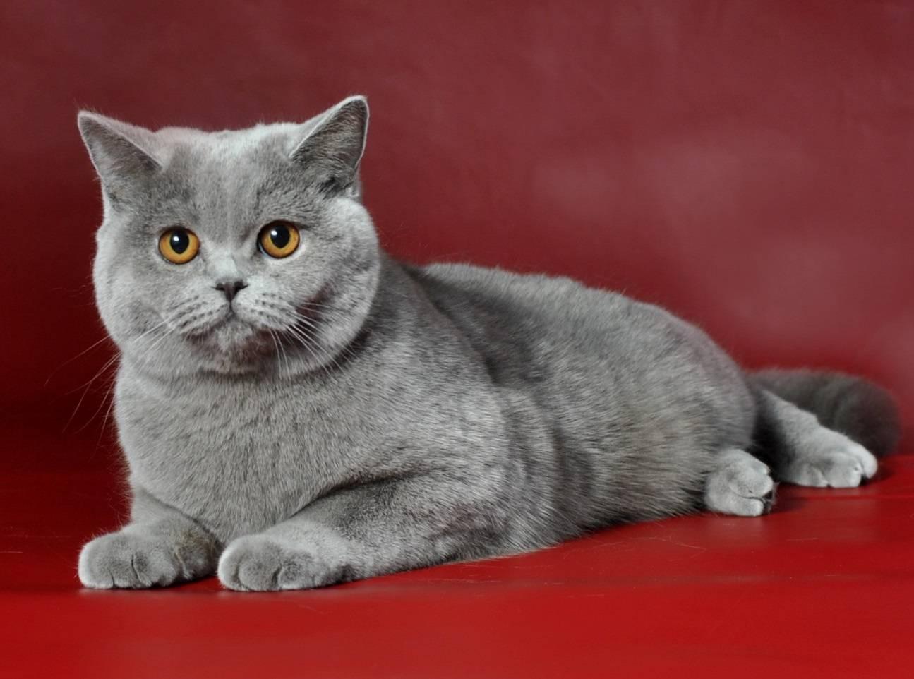 Британская золотая кошка (17 фото): особенности золотистого окраса и описание породы, тонкости ухода за взрослыми котами и котятами