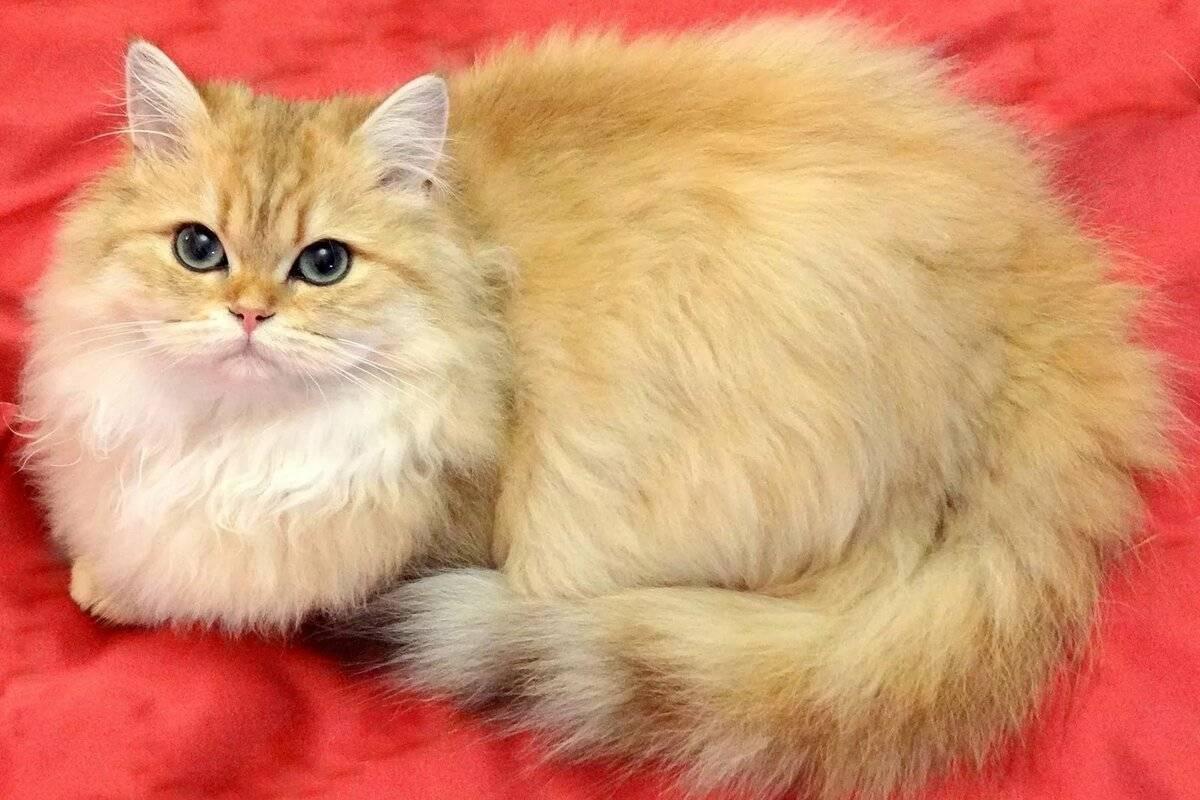 Британская длинношерстная и короткошерстная кошка