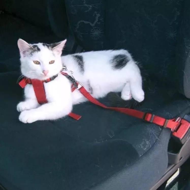 Как перевезти кошку в автомобиле: советы по транспортировке как перевезти кошку в автомобиле: советы по транспортировке