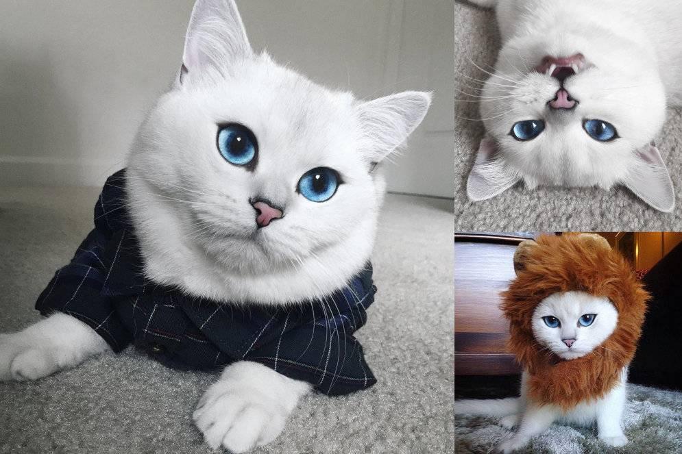 Все о кошках и котах породы коби