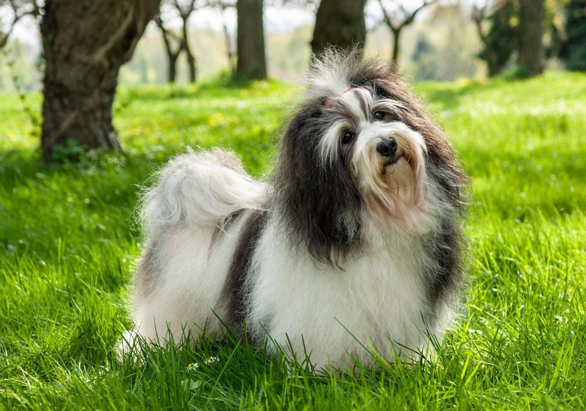 Гаванский бишон — миниатюрная собака с длинной шерстью. гаванские бишоны: миниатюрные комнатные собачки родом из жаркой солнечной кубы