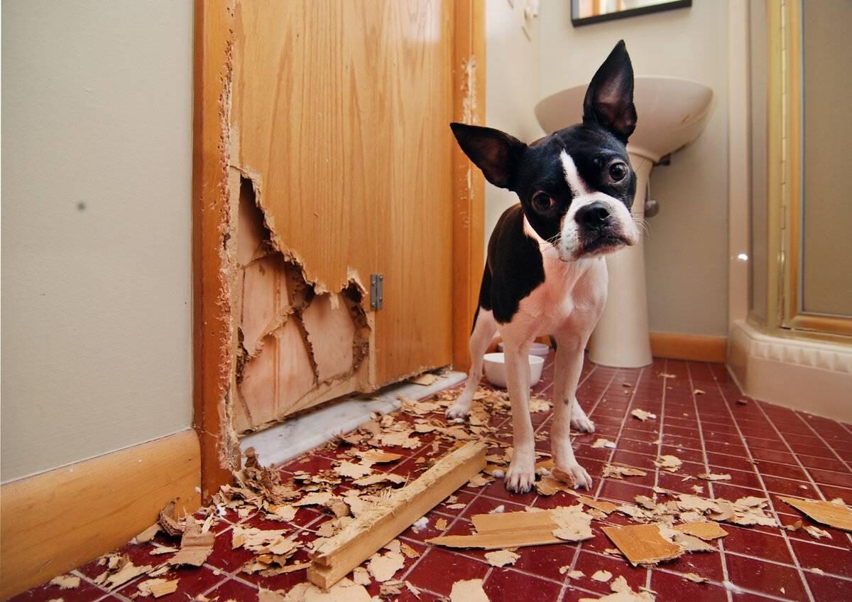 Как отучить собаку метить в квартире: поиск причины и ее устранение, кастрация и 5 других способов решения проблемы