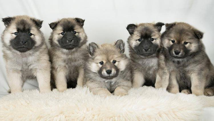 Евразиеры: описание породы собак, темперамент и основы ухода
