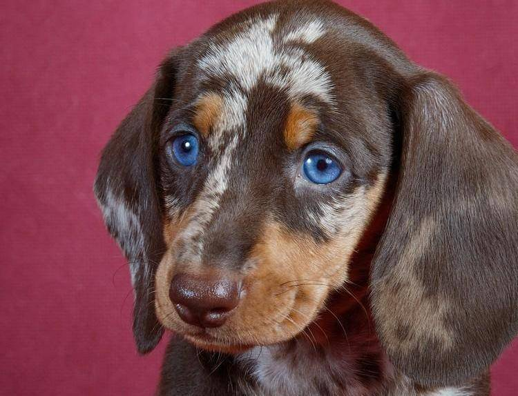 Мраморная такса (24 фото): описание щенков с голубыми глазами мраморного окраса, их содержание