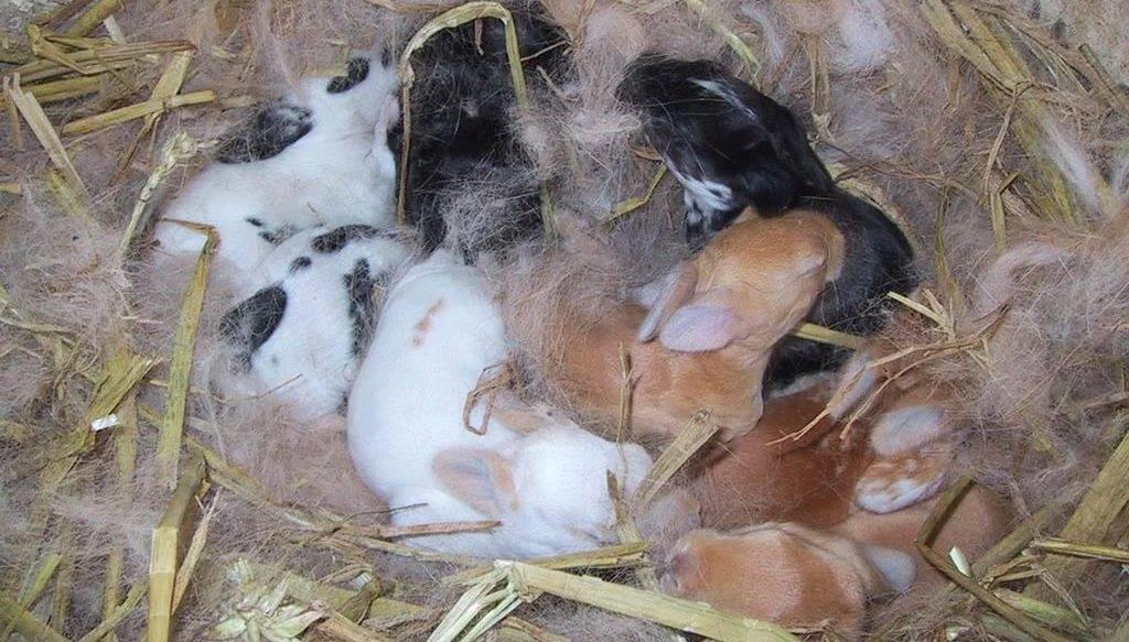 Беременность кроликов: как определить, сколько длится