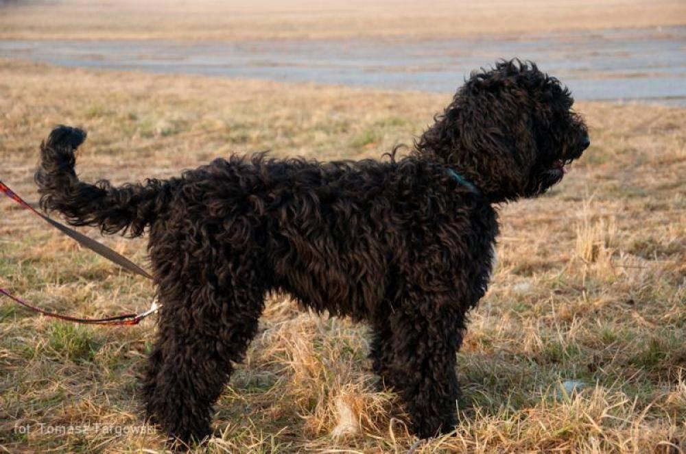 Французская овчарка босерон: всё о породе