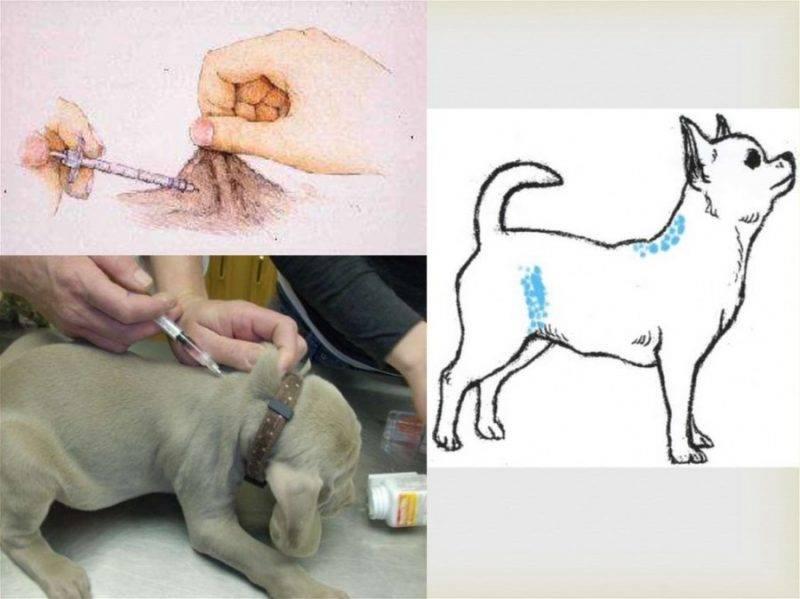 Как сделать укол кошке в холку: инструкция к процедуре в домашних условиях