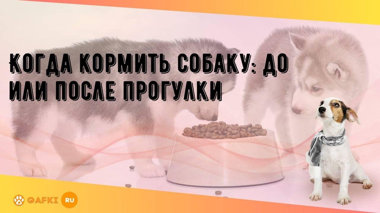 Когда лучше кормить собаку: до прогулки или после, как правильно выгуливать, до какого возраста сначала давать еду щенкам, почему нельзя взрослым