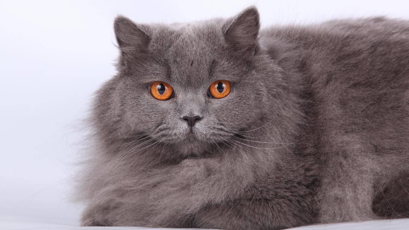 Британская длинношёрстная кошка: подробное описание, фото, купить, видео, цена, содержание дома