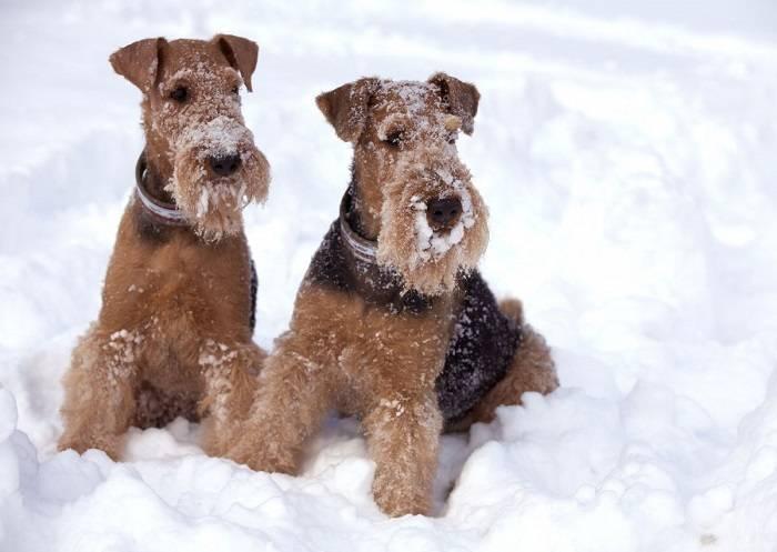 Эрдельтерьер - полное описание собаки с описанием и фото. отзывы владельцев + особенности содержания и характера собаки