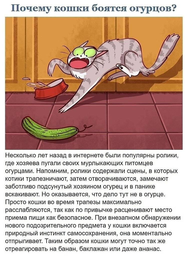 Почему коты боятся огурцов: интересно
