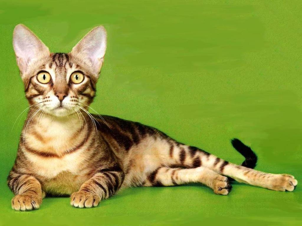 Сококе — описание породы и характер кошки