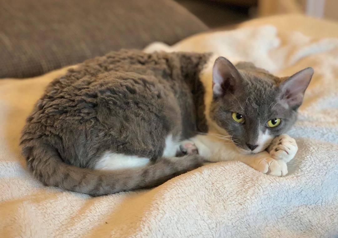 Немецкий рекс кудрявый кот с безупречным характером